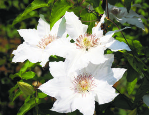 Clematis Hyde Hall (Photos by Josephine Borut)